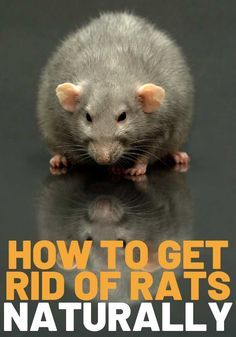 Natural Rat Repellent, Mice Repellent, Fly Repellant, Rat Control, Diy Pest Control, Rat House, House Mouse, Rats In House, Homemade Rat Poison