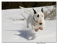 Flying Bullie!  Not like my Indy, she hated the white stuff (it was the cold paws)