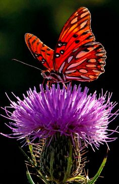 Gulf Fritilary butterfly feeding on thistle • Brian Shults Photography