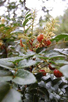 Gevuina avellana Chilean Hazel