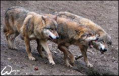 Wolves: nature can be cruel by woxys.deviantart.com on @DeviantArt