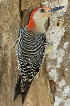 Red-bellied Woodpecker Everglades National Park, FL