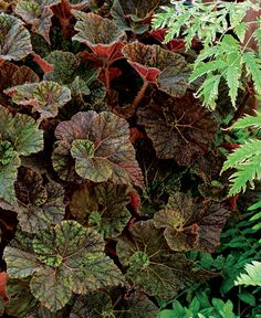 Begonia garden angel silver plants pinterest for Indoor gardening diana yakeley