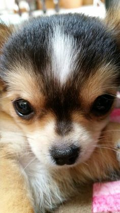 Love that face!  Adorable chihuahua