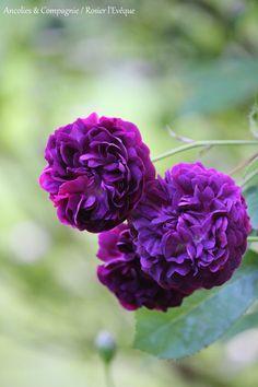 Rosa gallicanae 'The Bishop' (L'Évêque) | Zon V. Gammaldags buskros med upprätt, tätt växtsätt. Blommorna är blåaktigt purpurfärgade och magentaröda med skiftning i lila och grått. Attraktivt växtsätt med bågböjda grenar och klargrönt bladverk. Rikblommande på högsommar med väldoftande blommor i klasar. Doften påminner om kryddor och nötter. Skuggtålig. L'Evêque betyder biskop. 1.2x1m. François (Frankrike, 1790).