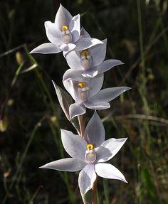 Albino Plain-Sun-Orchid: Thelyimitra paludosa - Flickr - Photo Sharing!