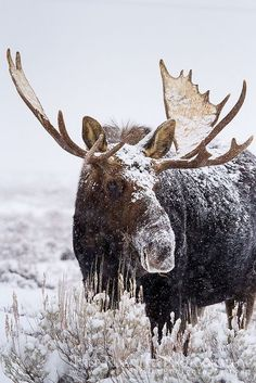Snowy Moose (love the setting of all of this; tone of the shot is captivating)  #moose  Visit our page here: http://what-do-animals-eat.com/moose/