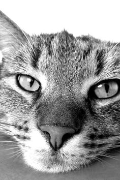 Free download of this photo: https://www.pexels.com/photo/grayscale-photography-of-cat-70844/ #black-and-white #animal #pet
