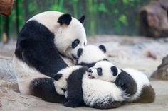 The mother panda was taken away from her babies to have an operation. This is the family of pandas reuniting.this made me cry! Cute Baby Animals, Animals And Pets, Funny Animals, Wild Animals, Panda Love, Cute Panda, Panda Lindo, Baby Panda Bears, Baby Pandas