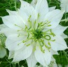 Nigella damascena 'Albion Green Pod' (Love-in-a-Mist): Z2-HA, 2-3ft/sq, full sun, well drained soil, white flowers w/ collar of wispy foliage end of June-Sept, amazing huge Iris germanica style seed pods covered in silky hairs like a clematis for late fall & winter interest; excellent cut flower/seed pods fresh or dried, bee/butterfly & bird friendly; easy to grow - great for kids, direct sow seeds in succession (Sept-Oct/Mar-May), deadhead for more blooms, stake in wind w/ twiggy branches