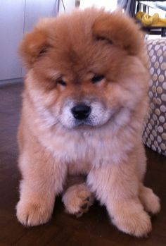 HOW CUTE are chow puppies??!