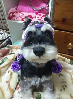 Lovely Schnauzers via facebook