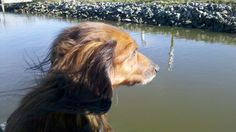 My Isobel taken on our last outing to the lake in Nov. 2011. She passed away May 31, 2012. She was the perfect dachshund: smart, silly, sense of humor, stubborn and beautiful beyond words...in heart, spirit and body. Miss you, my Wee One.