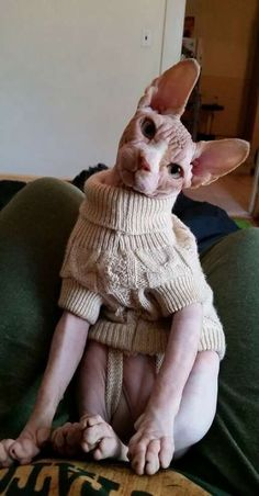 48 Ideas for cats sphynx devon rex - Animals Gato Sphinx, Sphynx Gato, I Love Cats, Crazy Cats, Cute Cats, Age Chat, Cute Hairless Cat, Baby Animals, Cute Animals