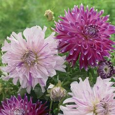 62 best purple flowers images on pinterest purple flowers bulb plant these dinnerplate dahlias side by side and enjoy how the purple pink in vancouver is echoed in the frilly petals of moms special both have big 8 mightylinksfo
