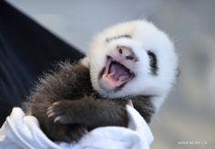 Cute panda cub at Atlanta Zoo in U.S. - Xinhua   English.news.cn