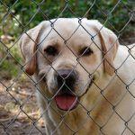 Labrador Welpen kaufen: wo sollten Sie einen Welpen kaufen?