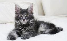 Tomado de FB: Purina Cat Chow LatAm    Los gatos de la raza Main Coon no sólo se distinguen por ser grandes, también son muy sociables y de carácter dulce, lo que los hace perfectos para familias con niños.