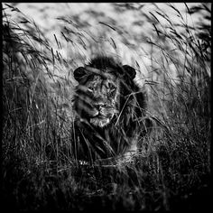 Photo Lion in the grass II - Laurent Baheux - YellowKorner