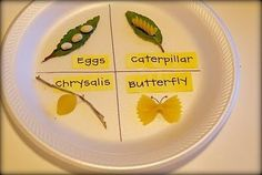 Use to teach the butterfly lifecycle - orzo for eggs, penne or rigatoni for the caterpillar, a shell for the chrysalis and farfalle for the butterfly