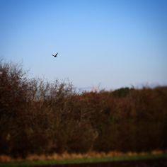 Rovfugl ved Sandager Næs #visitfyn #fyn #nature #visitdenmark #naturelovers #natur #denmark #danmark #dänemark #landscape #nofilter #assens #mitassens #vildmedfyn #fynerfin #assensnatur #vielskernaturen #visitassens  #instapic #picoftheday #autumn #fall #november
