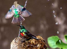 Ces oiseaux Souimanga malachite luttent pour avoir la meilleure place afin de se désaltérer à la fontaine, en Afrique du Sud.