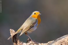 Robin by giorgio debernardi on 500px