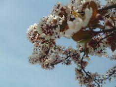 PT 73 APRIL 2014 NAMPA IDAHO BLOOSOMS ON SPRING TREES.