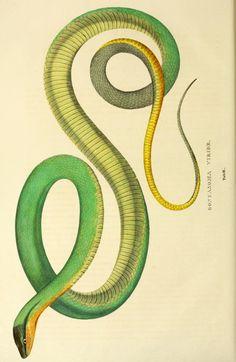 Descriptiones et icones amphibiorum. - Biodiversity Heritage Library