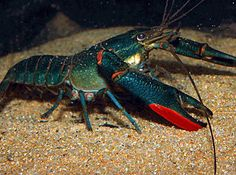What Do Crayfish Eat? - The Care, Feeding and Breeding of Crayfish (Crawfish) - Goodmorning Freshwater Aquarium, Aquarium Fish, Freshwater Lobster, Aquaponics Supplies, Aquarium Pictures, Prawn Shrimp, Crab And Lobster, Aquaponics Greenhouse, Fish Farming