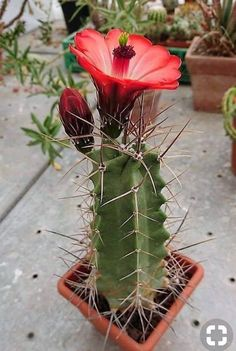 cactus with flowers # Unusual Flowers, Unusual Plants, Rare Flowers, Exotic Plants, Amazing Flowers, Succulent Gardening, Cacti And Succulents, Planting Succulents, Planting Flowers