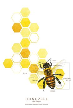 Honeybee Scientific Style Watercolor Illustration