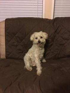 Check out Ghandoff's profile on AllPaws.com and help him get adopted! Ghandoff is an adorable Dog that needs a new home. https://www.allpaws.com/adopt-a-dog/poodle-toy-mix-maltese/4056278?social_ref=pinterest