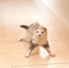 Cutest Ferret In The Universe | Cutest Paw