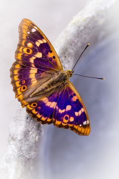 The Lesser Purple Emperor Butterfly ~ Apatura ilia Most Beautiful Butterfly, Beautiful Bugs, Giant Moth, Insect Wings, Flying Flowers, Butterfly Kisses, Jolie Photo, Beautiful Creatures, Animal Kingdom