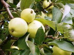 Jabłoń Oliwka Żółta Papierówka START PACK