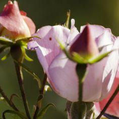 Rose and buds, Point Defiance Rose Garden, Tacoma, Washington.