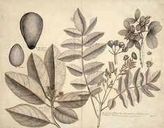 Botanical - Plum Tree and Avocado - Thomas Malie, 1741.