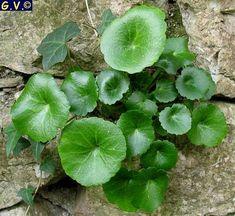 Umbilicus horizontalis  (ombelico di Venere  minore) Champs, Begonia, Diy And Crafts, Flora, Landscape, Fruit, Gardening, Plants, Healing Herbs