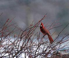 Eye-Catching Cardinal