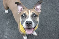 ♥ SAFE ♥ TO BE KILLED – OWNER ON MILITARY DEPLOYMENT - CHERYL SURRENDER AT MANHATTAN KILL SHELTER! Four year-old CHERYL (A0958616) the owner adopted from ACC when she was just a puppy. She was loved for the past 3 years, but now her owner is going to the military. Cheryl is PETITE SWEETHEART, LOVER OF PEOPLE, FRIENDLY, AFFECTIONATE & PLAYFUL, DOG & CAT FRIENDLY. With this winning personality, finding Cheryl a new home should be no problem! ♥ http://nycdogs.urgentpodr.org/cheryl-a0958616/