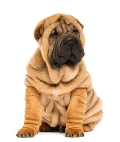 The 15 Quietest Dog Breeds: 12. Chinese Shar-Pei - Confident and quiet are words often used to describe the Chinese Shar-Pei. He's intelligent and devoted to his family, but he is also known to be stubborn. He's a great watchdog who generally only barks when worried or playing.