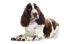 Mollypops the Spaniel came up from behind the woman, her owner, who was choking on a candy,and hit her in the back so hard that it dislodged the treat, in effect performing the Heimlich maneuver....