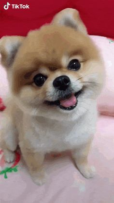 Dog - I Love dogs ❤️ - Puppies Baby Animals Super Cute, Cute Little Animals, Cute Funny Animals, Cute Cats, Cute Teacup Puppies, Cute Baby Puppies, Cute Pomeranian, Teacup Pomeranian Puppy, Baby Animals Pictures