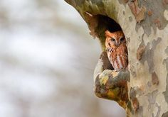 Photo taken by a 13-year old conservation photographer:  A screech owl peeks out from the hole of a tree.