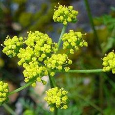 Lomatium is a powerful herbal antibiotic that is highly effective for the respiratory ailments such as COPD, pneumonia, tuberculosis, bronchitis, chronic cough, and asthma. Lomatium can also significantly improve overall immune function and is a fantastic herbal preventative to use during cold and flu season. Lomatium contains antiviral properties that have been shown to be a potent treatment for viral illnesses such as influenza, hepatitis, mumps, hiv, shingles, mononucleosis and epstein…