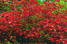 Top 10 Shrubs for Shade: Serviceberry Would do well next to the garage where there is very little sun.