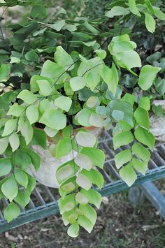 To keep your indoor houseplants healthy and thriving they will occasionally need to be pruned or re-potted. The process is very similar to the plants and just Fern Plant, Trees To Plant, Growing Flowers, Planting Flowers, Indoor Garden, Indoor Plants, Ferns Care, Maidenhair Fern, Rare Plants