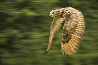 Eagle Owl by Ron Coulter
