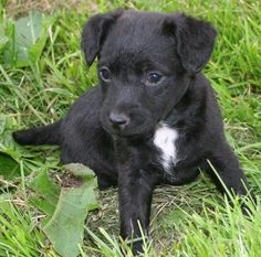 Adorable Patterdale Terrier Puppy